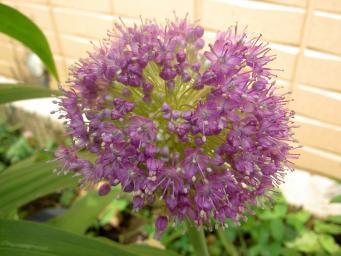 アリウム・ギガンティウムの花