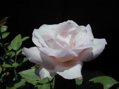 ブルームーン2番花