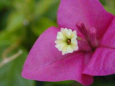 ビーゲンビレアの花