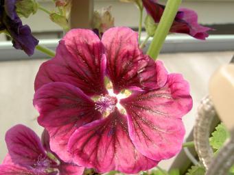 コモンマロウの花