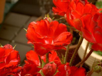 クリムゾン・キングの花のアップ