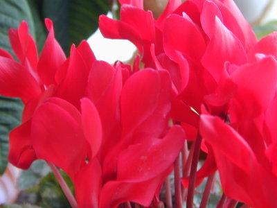 シクラメンの花