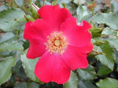 ドルトムント2番花