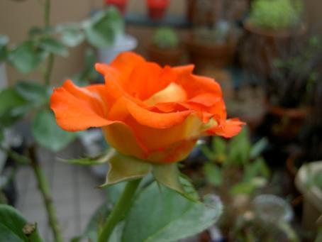 レオニダスの花のアップ