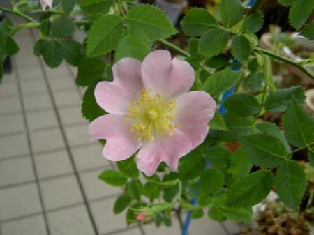 ロサ・カニナの花