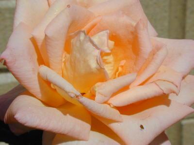 サマードリームの花のアップ