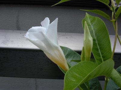 サンパラソルの花