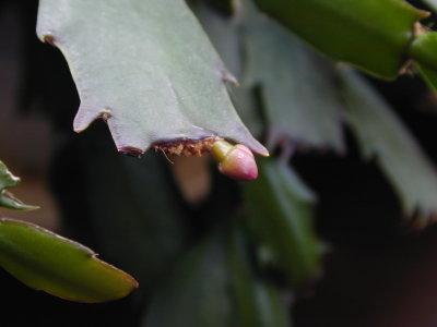 シャコバサボテンのつぼみ小