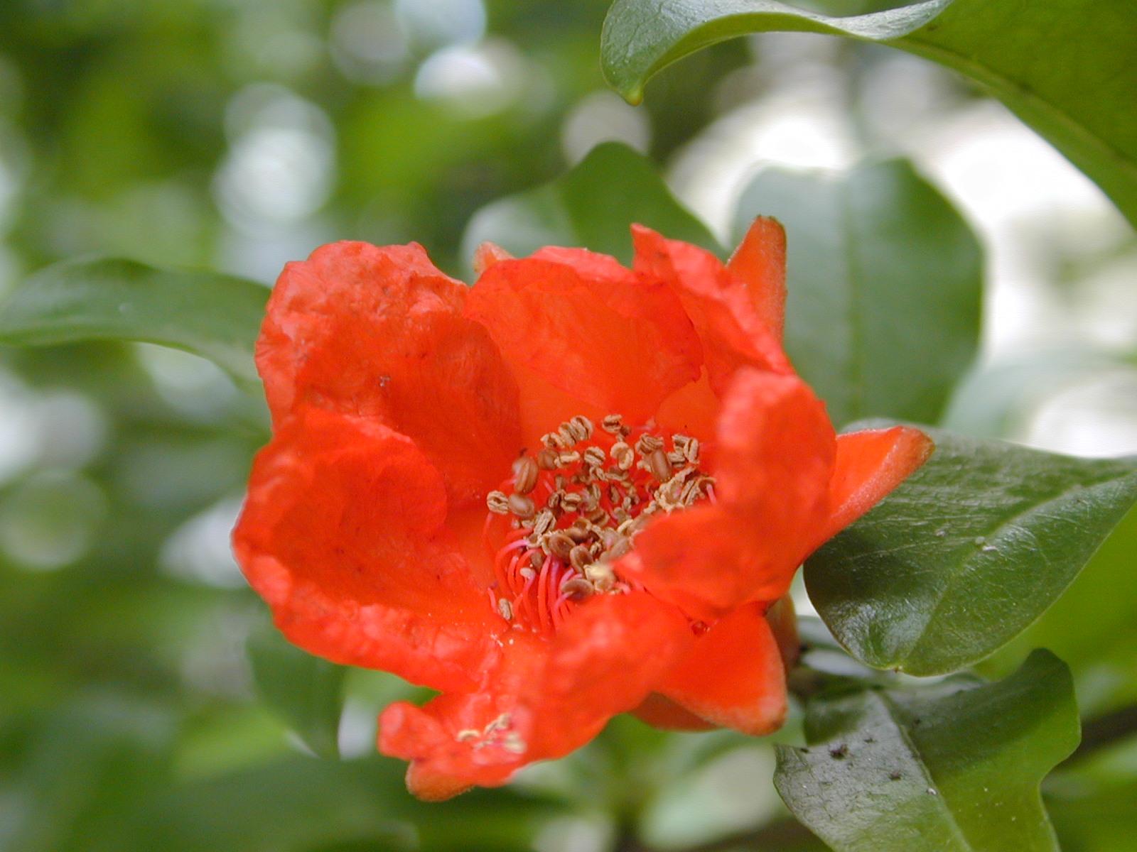 柘榴(ざくろ)の花言葉は円熟の美  8月7日の花と❀花言葉❀柘榴