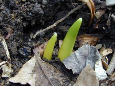エリスロニウムの芽