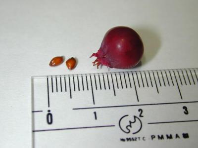 ジューンベリーの実と種