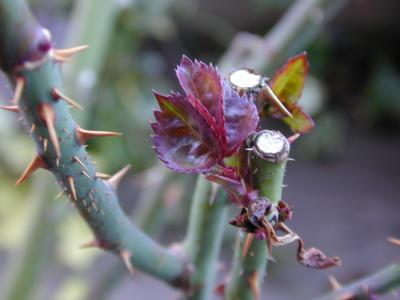 レオニダスの芽