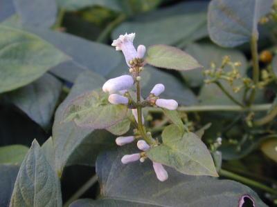 ヘクソカズラの花