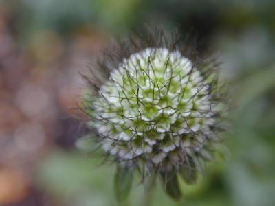スカビオザ・花のあと