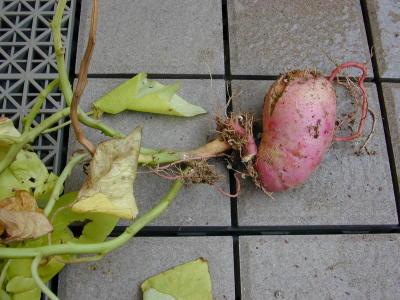テラス・ライムのイモ、葉っぱはもうよれよれ。