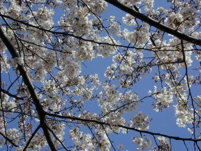 Sakura061_1