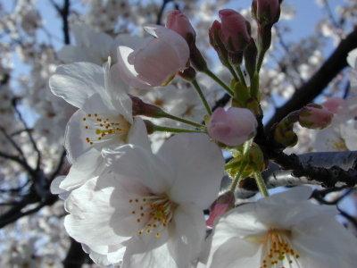 Sakura062_1