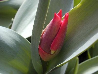 Tulip1_1